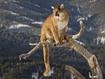 Sfondo: Puma