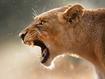 Sfondo: Puma in agguato