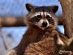 Sfondo: Raccoon
