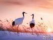 Sfondo: Red Crowned Crane