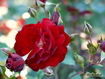 Sfondo: Red Rose