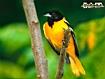 Sfondo: Uccello giallo
