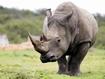 Sfondo: Rinoceronte