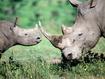 Sfondo: Rinoceronti
