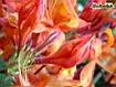 Sfondo: Rododendri