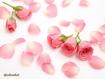 Sfondo: Petali di rosa