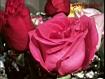 Sfondo: Rose