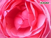 Sfondo: Rosa fiorita