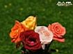 Sfondo: Rose varie