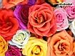 Rose fiorite