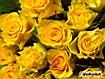 Sfondo: Rose gialle