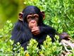 Sfondo: Scimpanzè