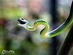 Sfondo: Serpente