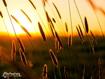 Sfondo: Spighe al tramonto