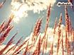 Sfondo: Spighe di grano