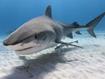 Shark And Son