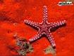 Sfondo: Stella marina rossa