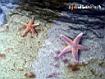 Sfondo: Stelle marine