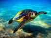 Sfondo: Tartaruga marina
