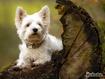 Sfondo: Terrier