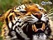 Sfondo: Tigre