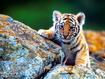 Sfondo: Cucciolo di tigre