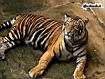 Sfondo: Tigre del Bengala