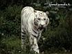 Sfondo: Tigre bianca