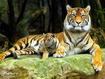 Sfondo: Tiger