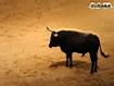 Toro in corrida