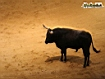 Sfondo: Toro in corrida