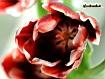 Sfondo: Tulipano rosso