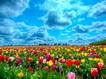 Sfondo: Colored Tulips