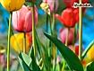 Sfondo: Tulipani