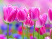 Sfondo: Tulipani Rosa