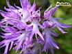 Sfondo: Orchidea Selvatica