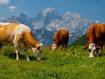 Sfondo: Mucche