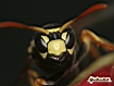 Sfondo: Wasp