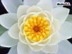Sfondo: Water Lily