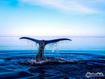 Sfondo: Whale Tail
