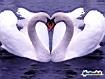 Sfondo: White Swans